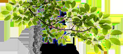 tree-trimming-mango-hill